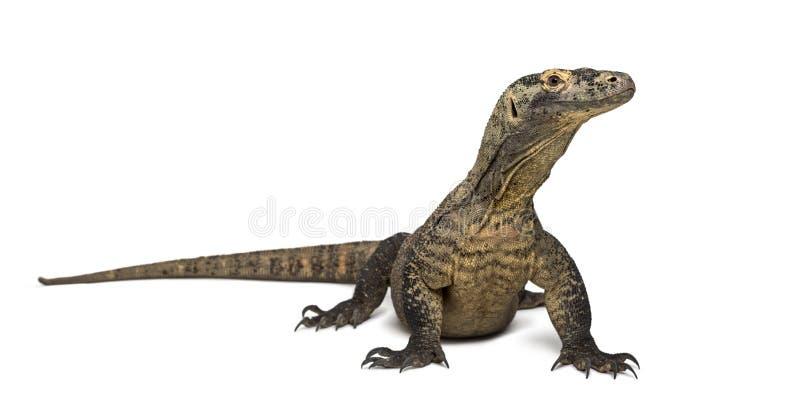 看的科莫多巨蜥,隔绝在白色 免版税图库摄影