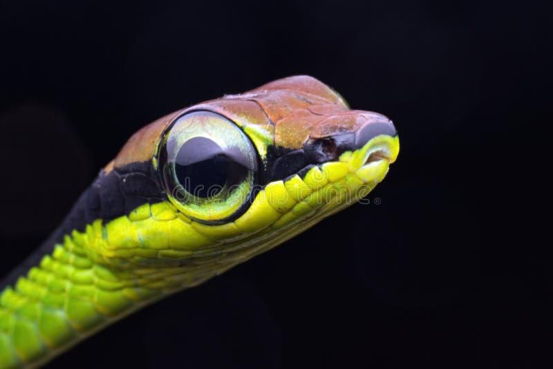 看直接入照相机的一条被绘的或墙壁bronzeback蛇的特写镜头画象 库存照片