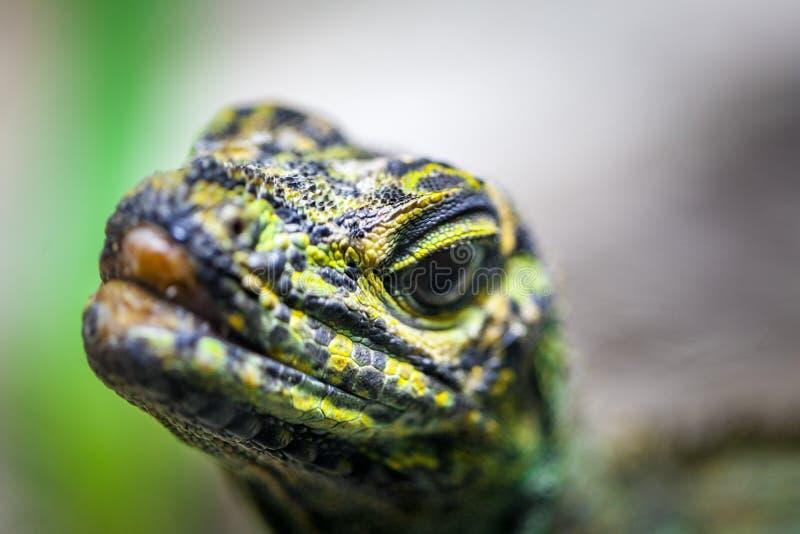 看直接入照相机-与焦点的极端特写镜头的Sailfin蜥蜴在前景 免版税库存照片
