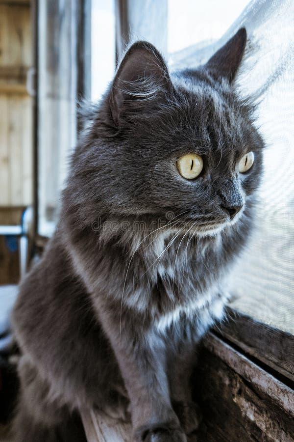 看窗口的灰色家猫 免版税库存照片