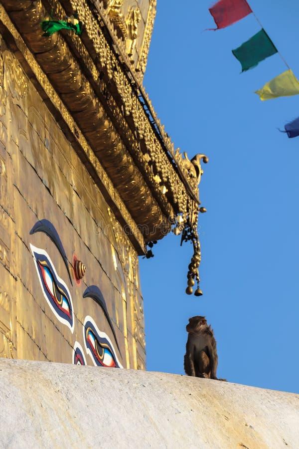 看菩萨的眼睛的猴子 库存图片