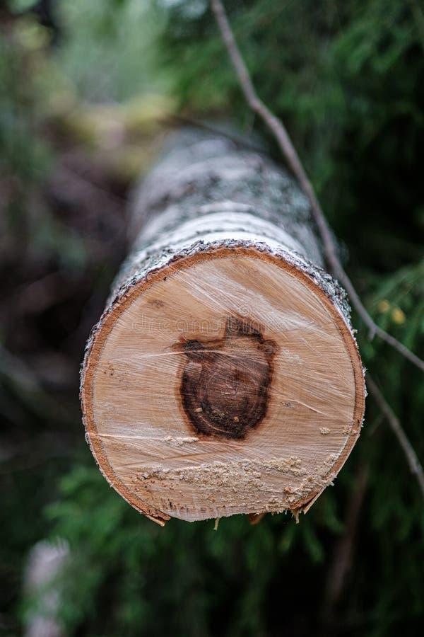 看见了裁减与年圆环的树干并且看见了尘土 免版税库存照片