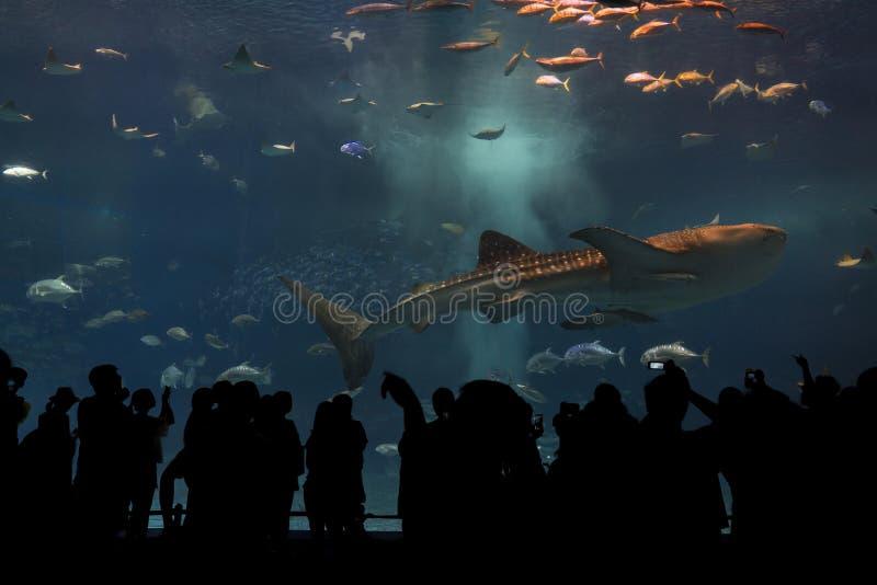 看见巨型鲸鲨的人剪影  免版税库存照片
