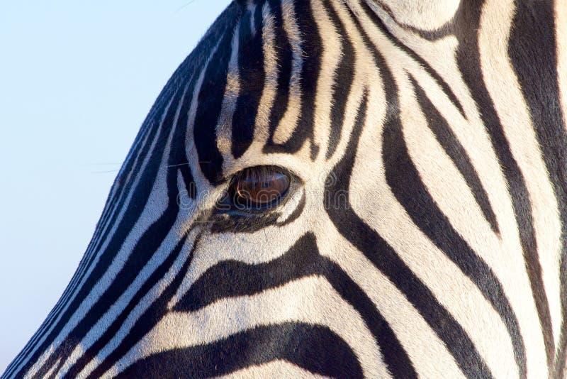 看见数据条斑马 免版税库存照片