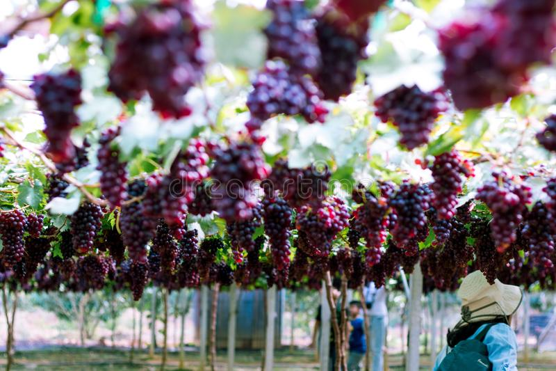 看见的游客旅行紫色葡萄是有机果子在葡萄园里 束在自然庭院的成熟葡萄 在胜利前的新鲜的葡萄 免版税库存图片
