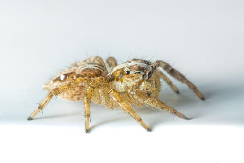 看起来一只跳跃的蜘蛛逗人喜爱 库存图片
