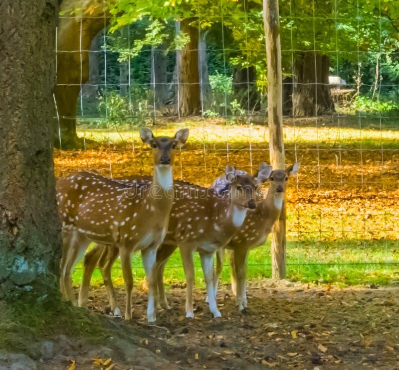 看起来三头母被察觉的轴的鹿站立在树后和好奇 免版税图库摄影