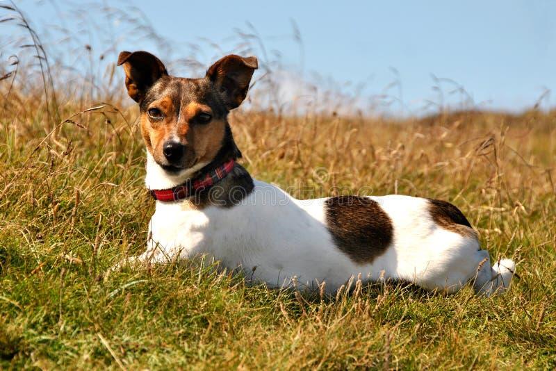 看起来位于的罗素狗的逗人喜爱的草&# 免版税库存照片