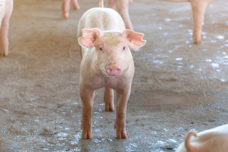看起来健康在一个地方东南亚国家联盟养猪场贪心的2个月的岁 规范化的和干净种田的概念没有地方d 免版税库存图片