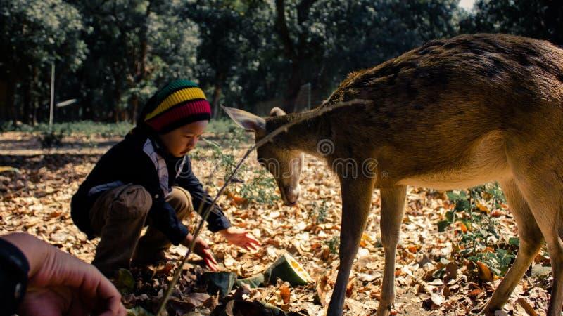 看起来友好对一个小孩子接近他的鹿 库存照片
