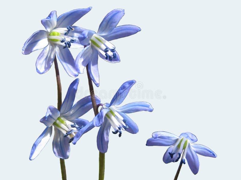 看起来壮观在庭院里,在森林沼地和在白色背景的蓝色snowdrop或报春花花 库存图片