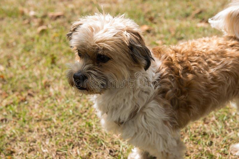 看起来小的狗站立在草和集中 库存图片