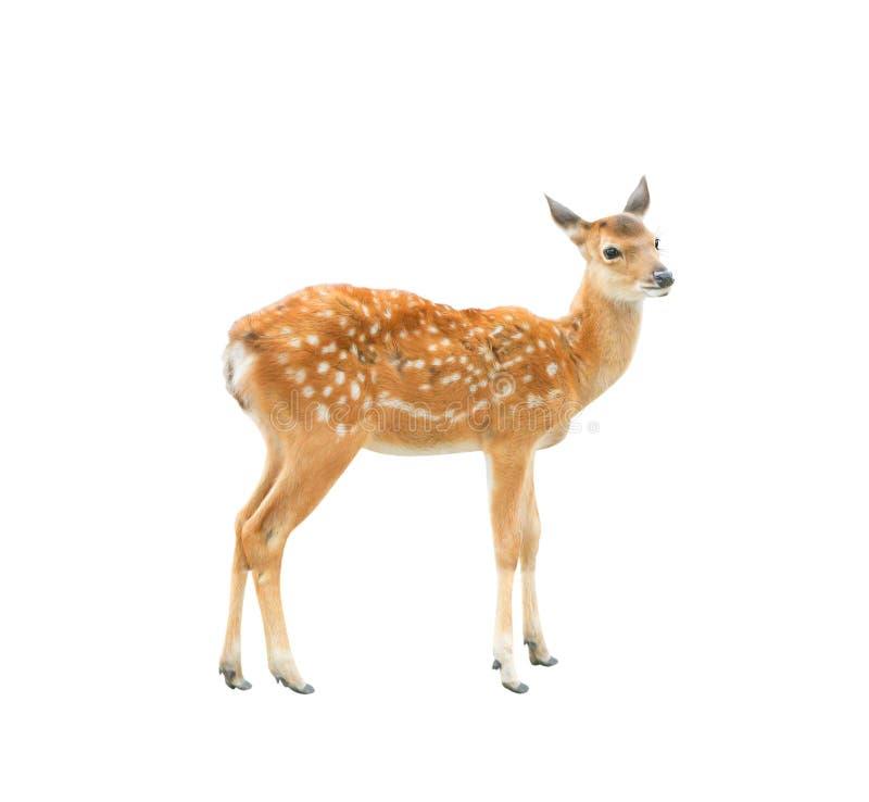 看起来幼小的鹿站立和隔绝在与裁减路线的白色背景 库存图片