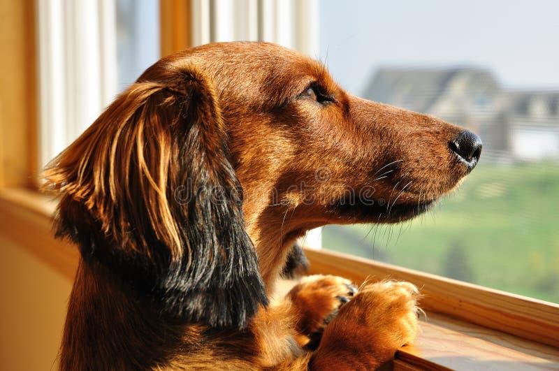 看起来微型视窗的达克斯猎犬 免版税库存照片