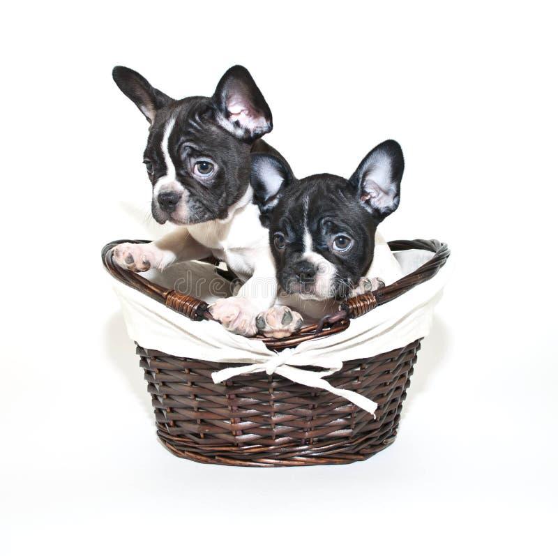 看起来二的法国牛头犬有罪 免版税库存图片