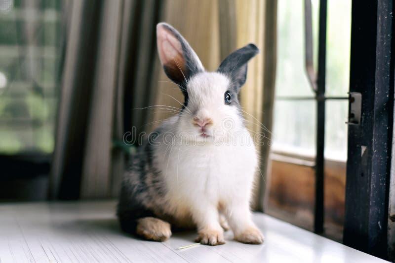 看起来灰色的小兔frontward对观察者,一点兔宝宝坐白色书桌 免版税库存照片