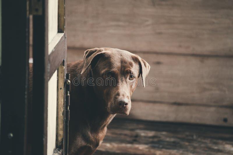 看起来用途魅力的拉布拉多猎犬对他的所有者 库存图片