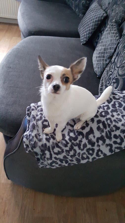 看起来的奇瓦瓦狗好 免版税图库摄影