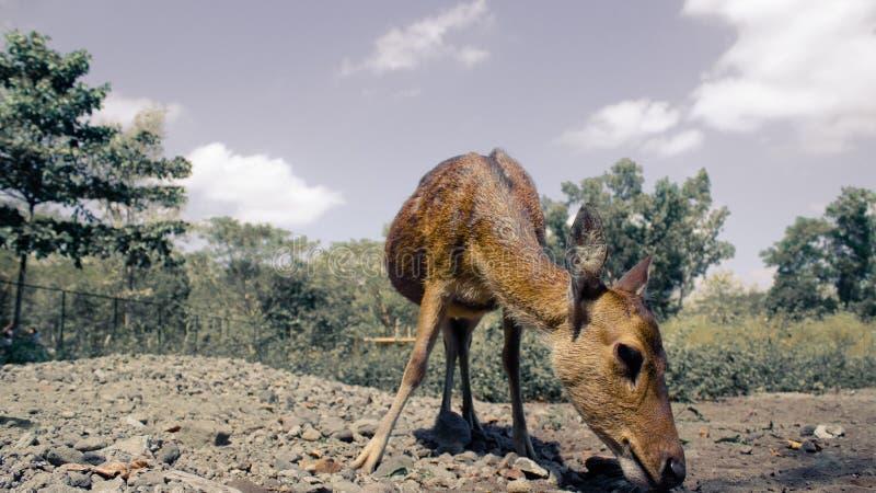 看起来美丽的一头幼小鹿看得下来吃 免版税图库摄影
