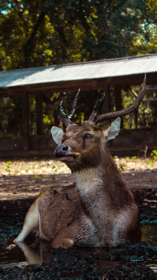 看起来这头鹿真正地享受它的孑然 库存照片