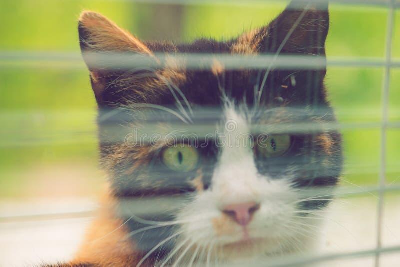 看通过与窗帘的一个窗口的一只三色猫的特写镜头面孔 免版税库存图片