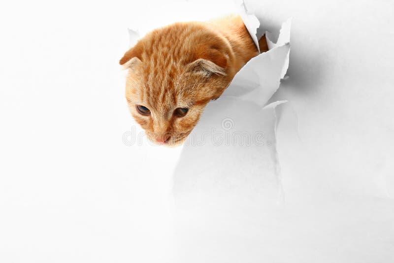 看通过在纸的孔的逗人喜爱的苏格兰折叠猫在白色背景 库存图片