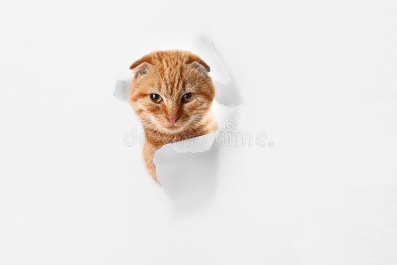 看通过在纸的孔的逗人喜爱的苏格兰折叠猫在白色背景 免版税库存图片