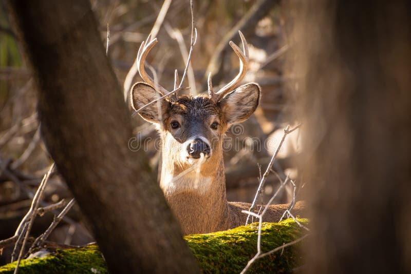 看通过树的白尾鹿大型装配架 库存照片
