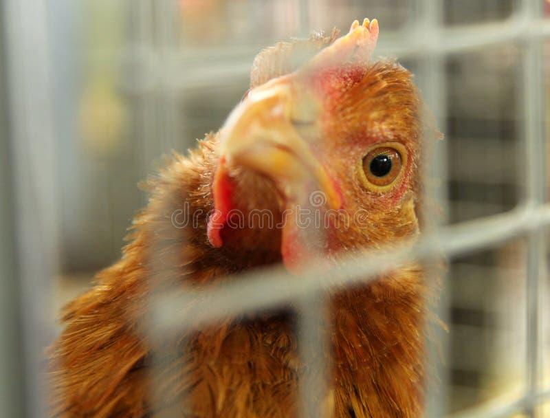 看通过格子细胞的金黄鸡 免版税库存照片