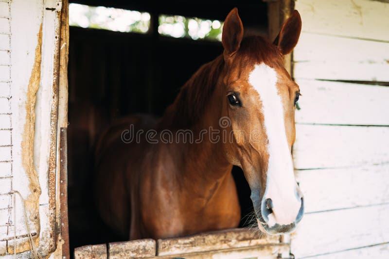 看通过窗口的美丽的马的图片 免版税库存照片