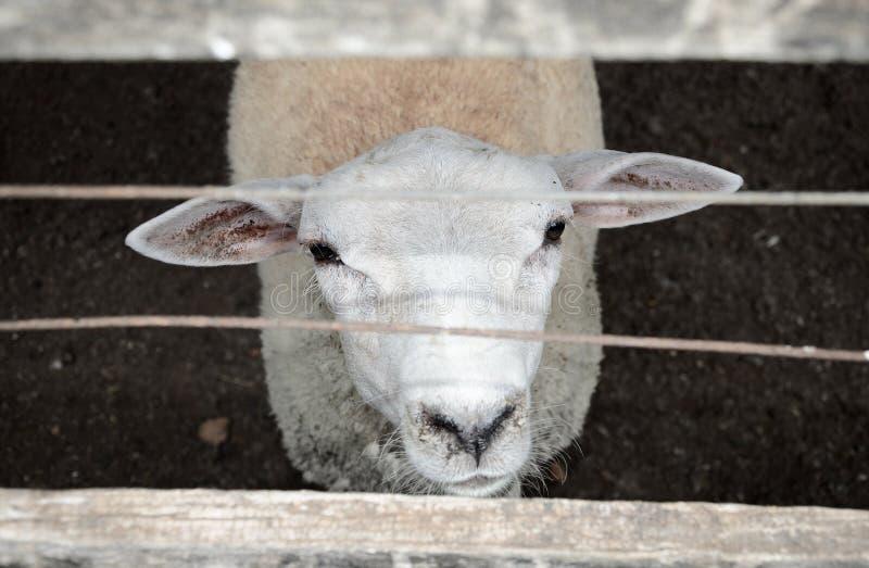 看通过篱芭的好奇白羊 免版税库存图片
