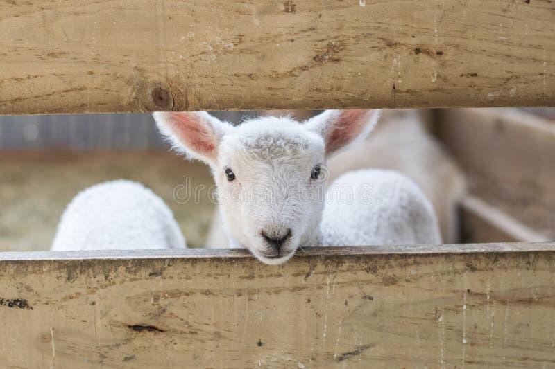 看通过篱芭的小羊羔 库存图片