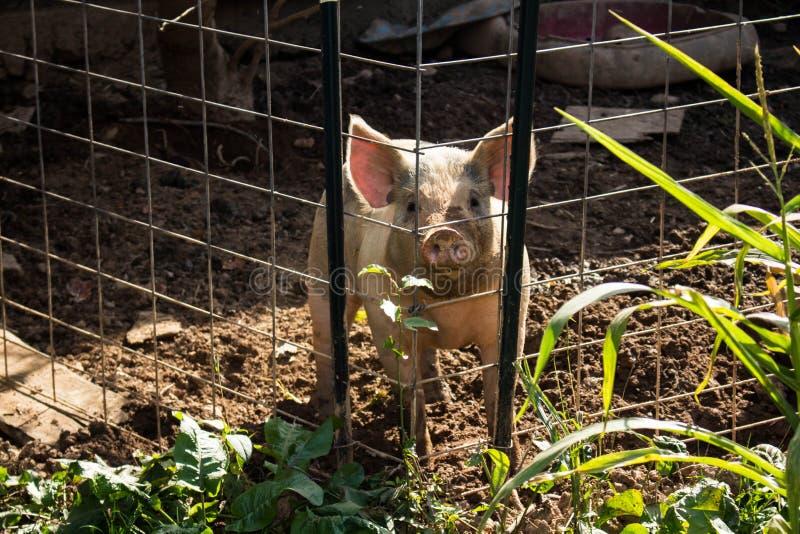 看通过篱芭的猪 库存照片