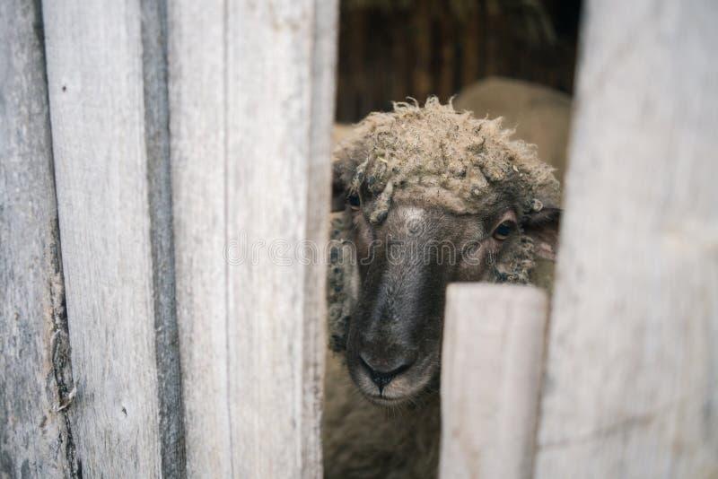 看通过篱芭的绵羊 免版税图库摄影