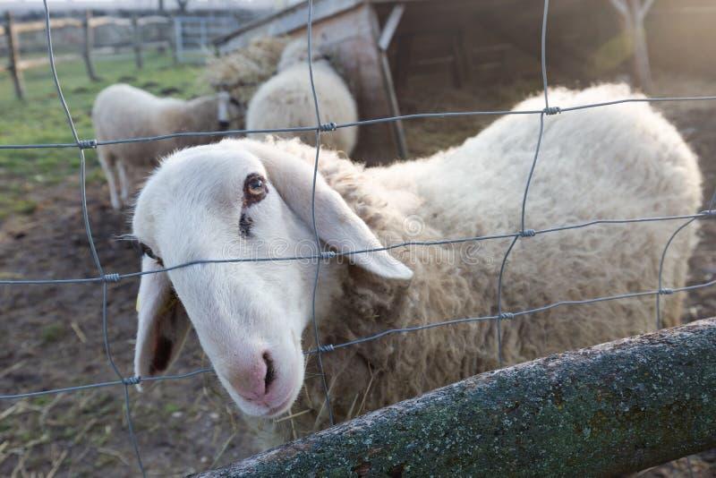 看通过篱芭的绵羊 图库摄影