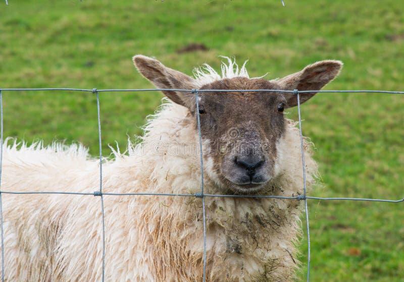 看通过篱芭的绵羊 库存图片