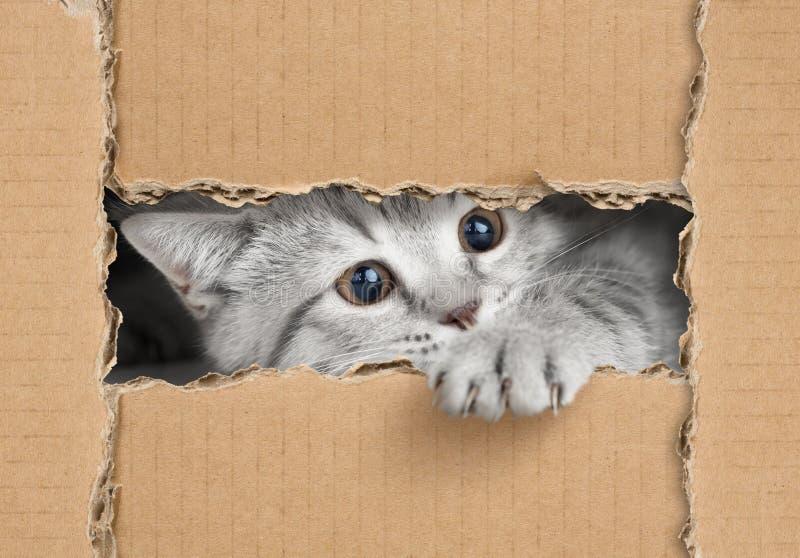 看通过纸板孔的逗人喜爱的矮小的灰色猫 免版税库存照片