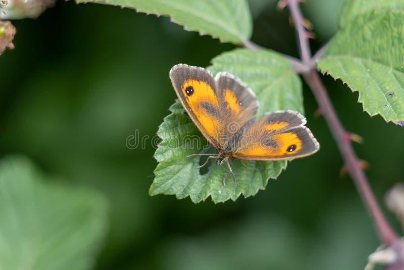 看门人或树篱棕色的蝶 库存照片