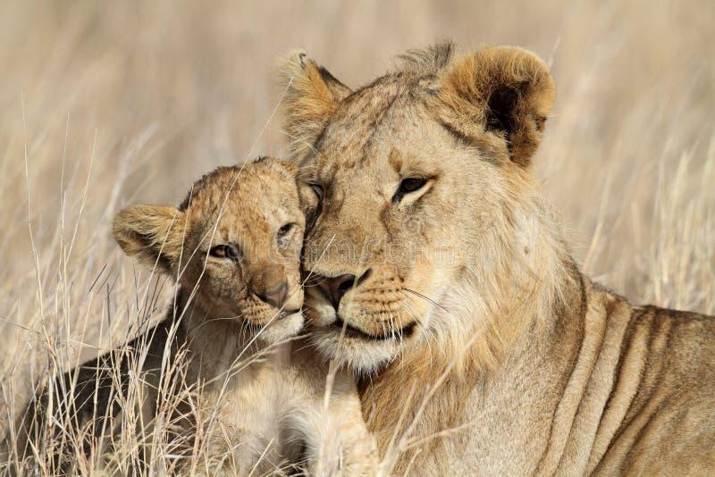 Download 看顾的bigbrother崽狮子serengeti 库存图片. 图片 包括有 原野, 大草原, 小猫, 野生生物 - 15689385