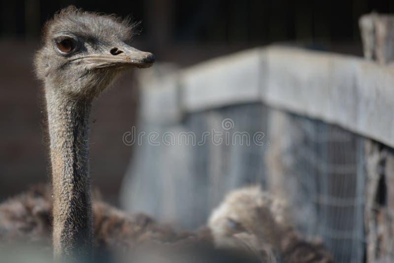 看驼鸟 免版税库存图片