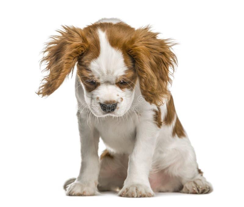 看骑士国王查尔斯狗的小狗下来 图库摄影