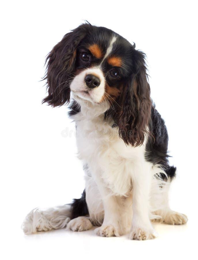 看骑士的国王查尔斯狗直向前坐和 免版税库存照片