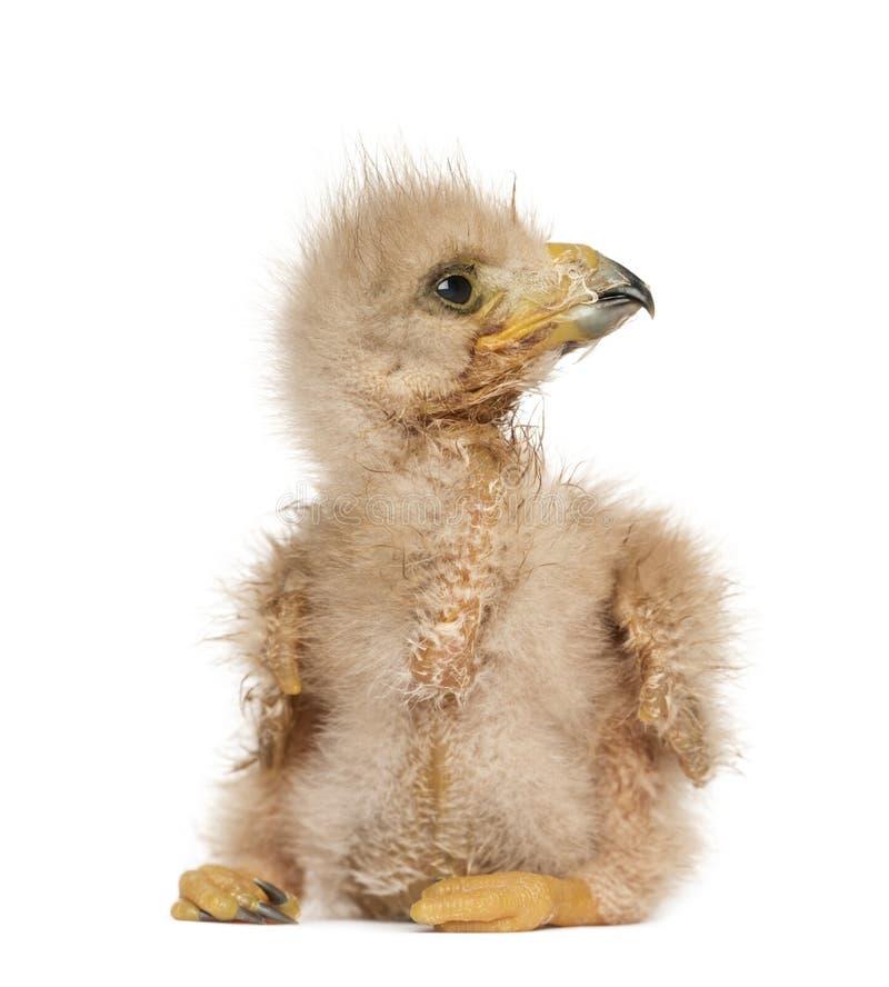看年轻哈里斯的鹰, 3天年纪,隔绝 库存图片