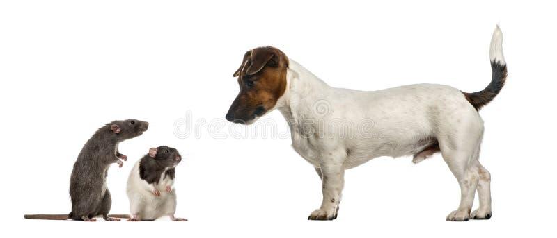 看mouses的达克斯猎犬,被隔绝 免版税库存图片