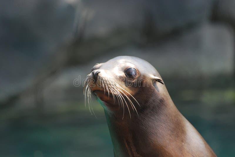 真正地逗人喜爱的海狮面孔 库存照片