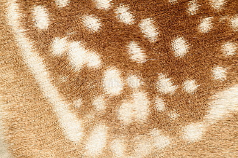真正的小鹿被察觉的毛皮的样式 免版税库存照片