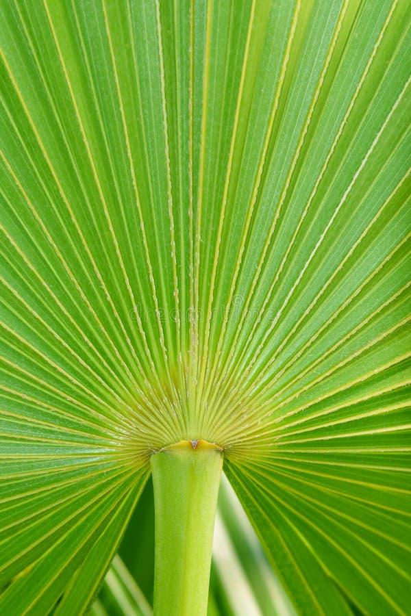 真正的热带棕榈叶背景,纹理,密林叶子 绿色叶子在阳光下 热带的海岛 免版税库存照片