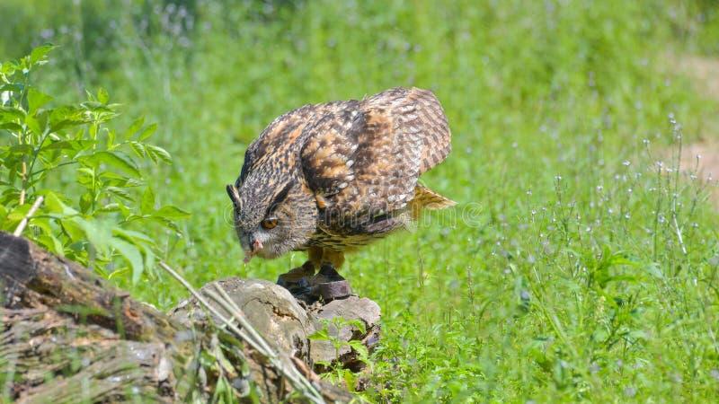 真正的猫头鹰,吃东西从草甸 免版税库存照片