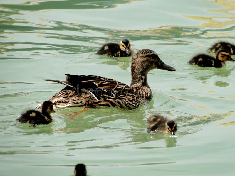 真正的鸭子,妈妈腿用她的鸭子 库存照片