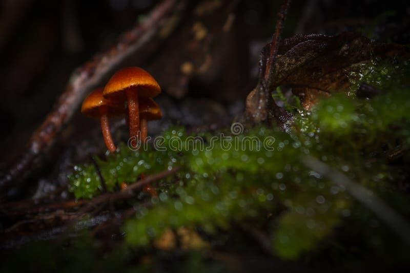 真菌塔斯马尼亚岛 库存照片